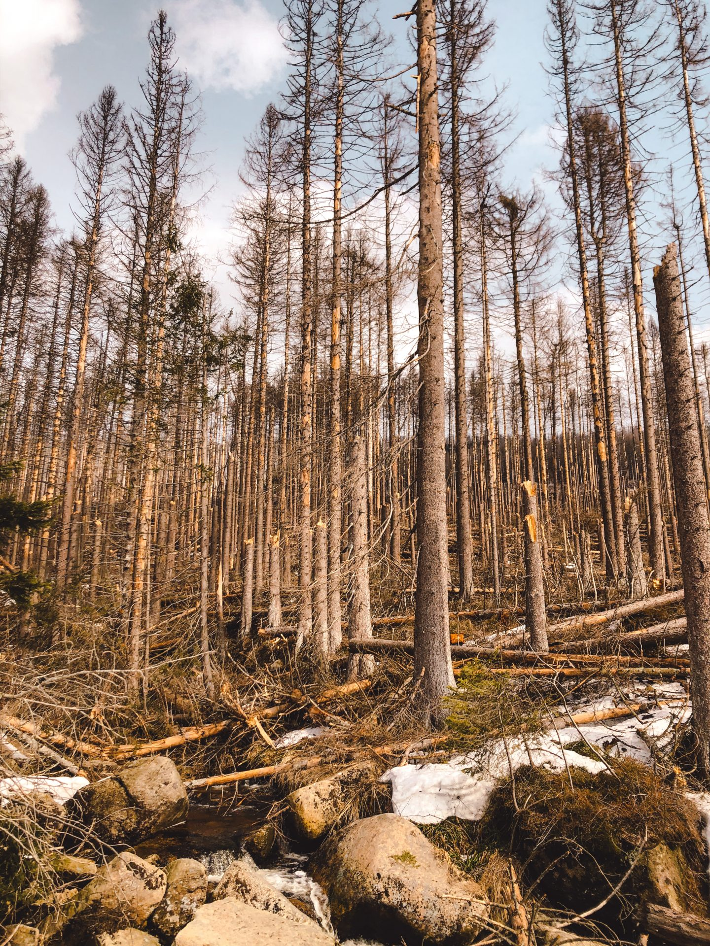 Forest dieback in the Harz Mountains