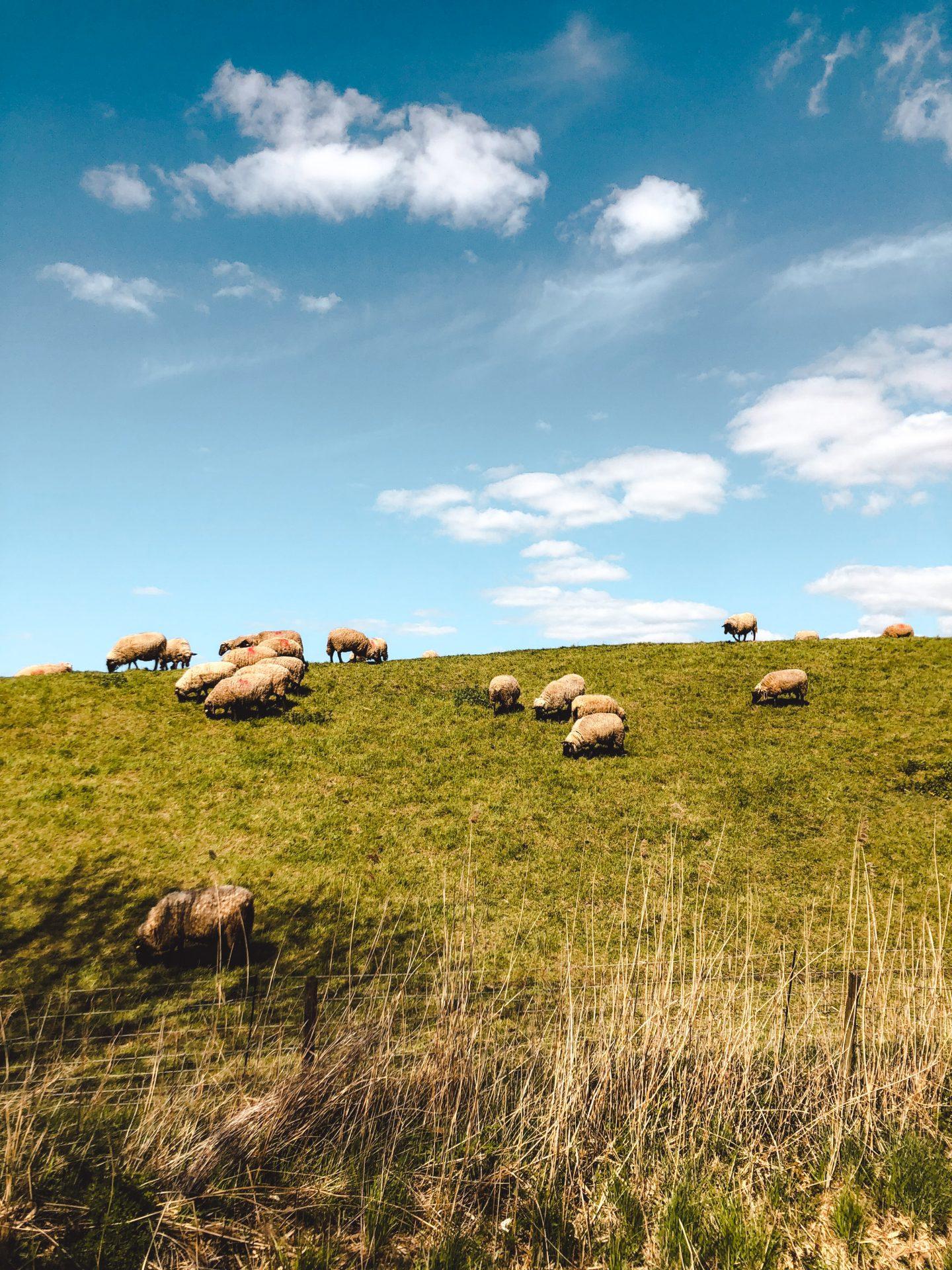 Sheep in Altes Land Hamburg
